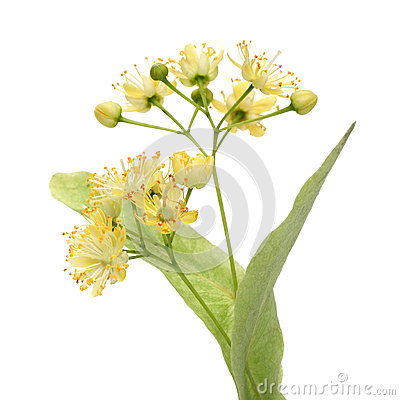 Free Yellow Linden Flower Royalty Free Stock Images - 25182579