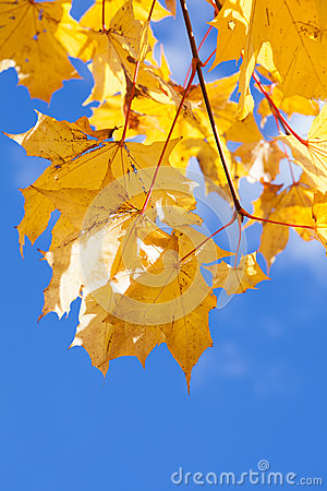Yellow maple foliage on brunch on blue sky