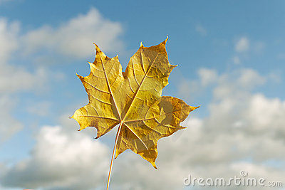 Yellow maple leaf.