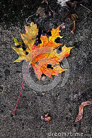 Free Yellow Maple Leaf Royalty Free Stock Photos - 57501908