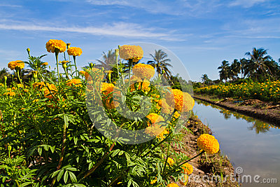 Yellow marigold flower farm