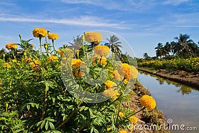Yellow marigold flower farm