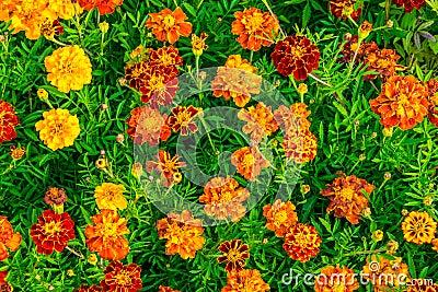 Yellow Marigold Flowers Background Field