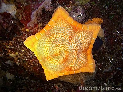 Yellow marine star