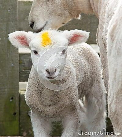 Yellow Mark Lamb