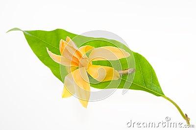 Yellow Michelia Alba isolated on white