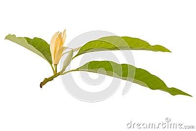 Yellow Michelia alba x Michelia champaca , thailand