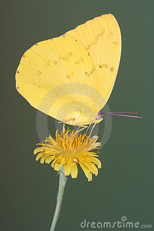 Free Yellow Migrant Butterfly Perched On A Dandelion Flower With Wings Closed Royalty Free Stock Image - 2005316