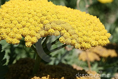 Yellow Mimosa flower in bloom