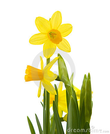 Free Yellow Mini-narcissi Royalty Free Stock Image - 13559466
