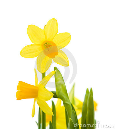 Free Yellow Mini-narcissi Royalty Free Stock Photos - 13559478