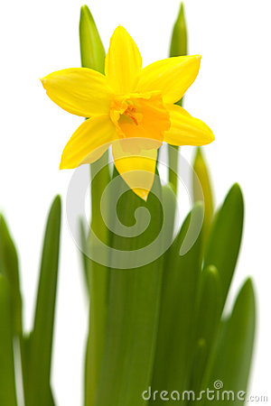 Free Yellow Mini-narcissi Royalty Free Stock Photo - 38290215