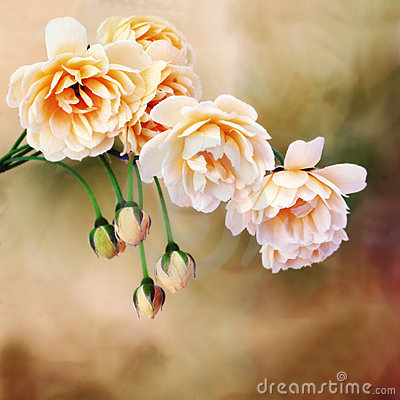 Free Yellow Miniature Roses Stock Photos - 8906253