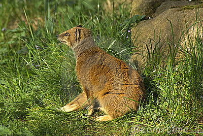 Yellow Mongoose