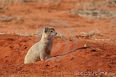 Yellow Mongoose Royalty Free Stock Photo - Image: 6849925