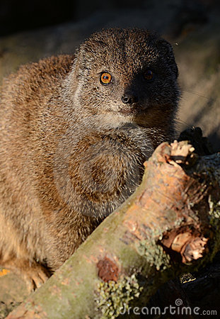 Yellow Mongoose Close-up