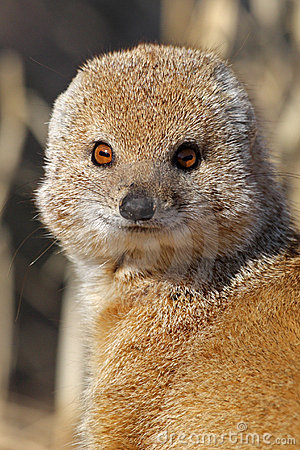 Yellow mongoose close-up, Kalahari desert