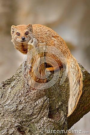 Free Yellow Mongoose, Cynictis Penicillata, Sitting On The Tree Trunk. Royalty Free Stock Photo - 110443605