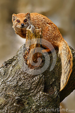Free Yellow Mongoose, Cynictis Penicillata, Sitting On The Tree Trunk. Yellow Mongoose In The Nature Habitat. Yellow Mongoose With Long Royalty Free Stock Images - 75943799