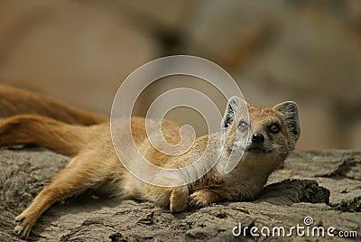 Yellow mongoose lying on a tree