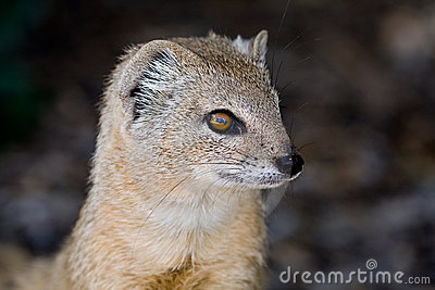 Yellow mongoose portrait