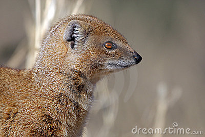 Yellow mongoose profile, Kalahari desert