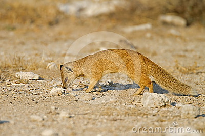 Yellow Mongoose searching for food