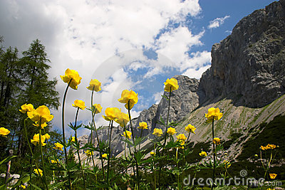 Yellow moraine buttercups on mountain background