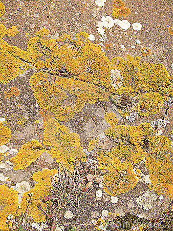 Yellow moss on a rock surface