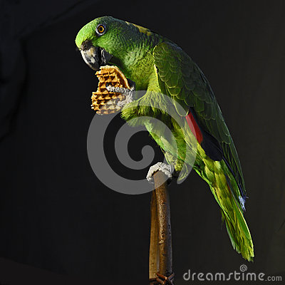 Free Yellow-naped Amazon Parrot Eat Waffle Stock Photos - 59460083