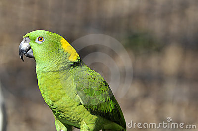 Yellow naped parrot: Amazona auropalliata