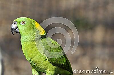 Yellow naped parrot: Amazona auropalliata