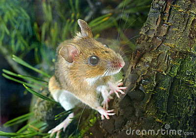 Yellow-necked Wood Mouse (Apodemus flavicollis)
