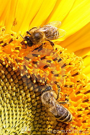 Free Yellow Nectar Stock Photo - 687390