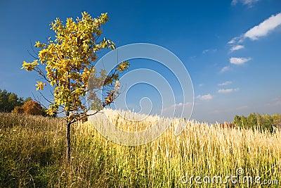 Yellow oak tree in a field