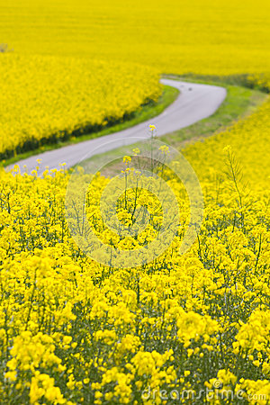 Free Yellow Oilseed Rape Field Royalty Free Stock Images - 41813119