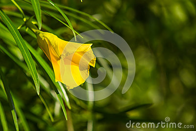 Yellow oleander flower in chiangmai Thailand