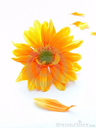 Yellow and orange chrystanthemum