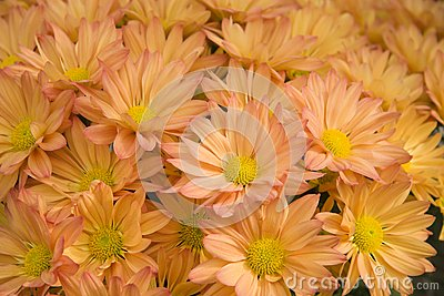Pretty Mums for Autumn
