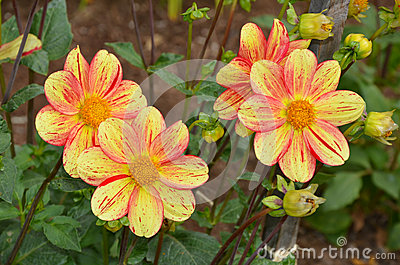 Yellow and orange dahlia flowers