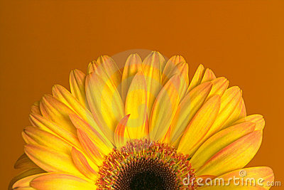 Yellow-orange gerbera on orange background