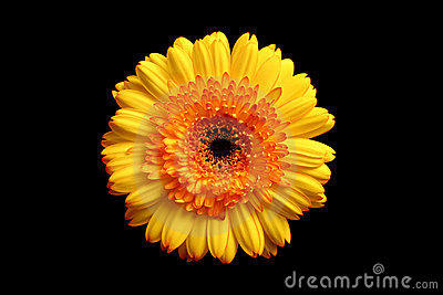 Yellow orange gerbera over black