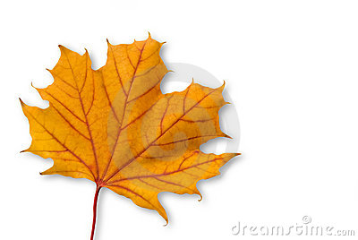 Yellow orange maple leaf with red veins isolated