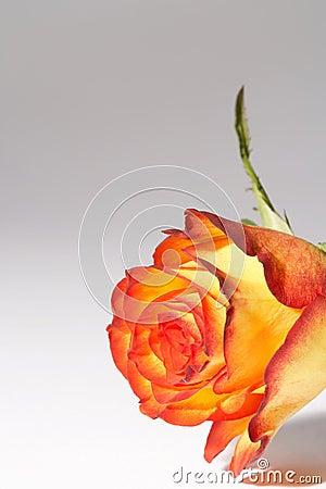 Free Yellow, Orange Rose - Gelb, Orange Rose Stock Images - 448164