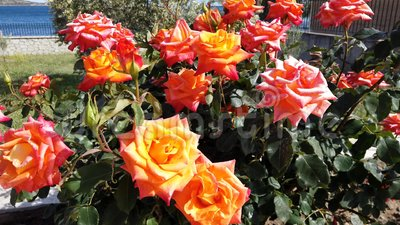 Yellow Orange Roses Rocking in the Wind. Many brightly coloured full bloom yellow to orange roses  gently rocking in the wind in home garden stock footage