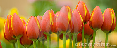 Yellow orange tulips
