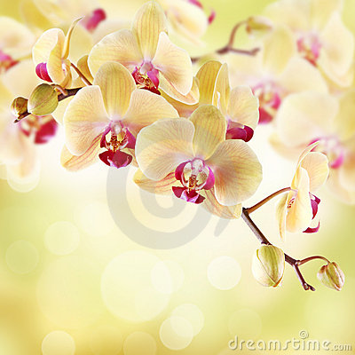 Free Yellow Orchid Stock Photos - 17759033