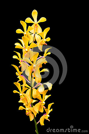Free Yellow Orchid Flower Royalty Free Stock Images - 26213469
