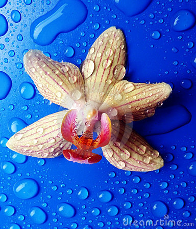 Yellow orchid with rain drops on blue background