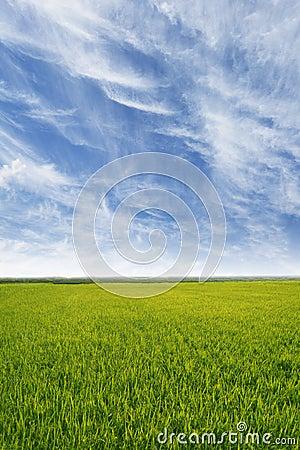 Yellow paddy filed